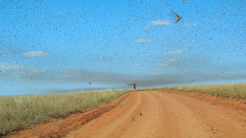 Swarm_of_Locusts.jpg