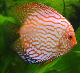 Discus_fish.jpg