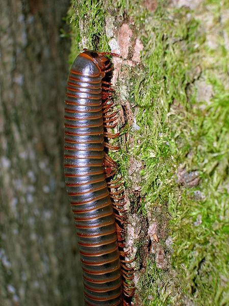 006-Centipede-new.jpg