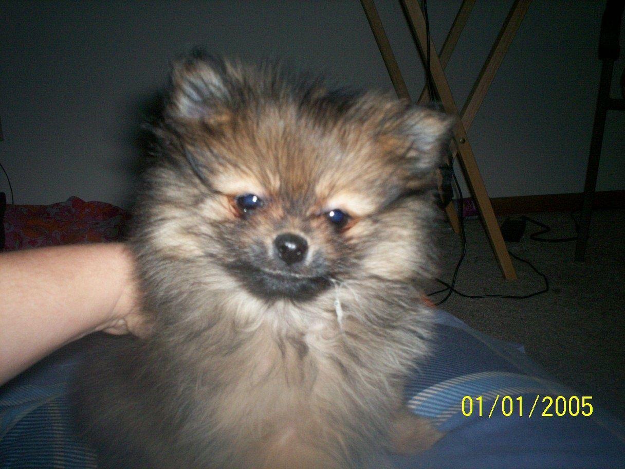 Toy_Pomeranian.jpg