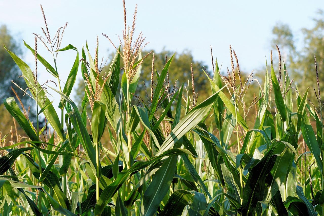 corn-436654_1280.jpg