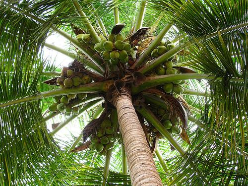 coconutpalmscp.jpg