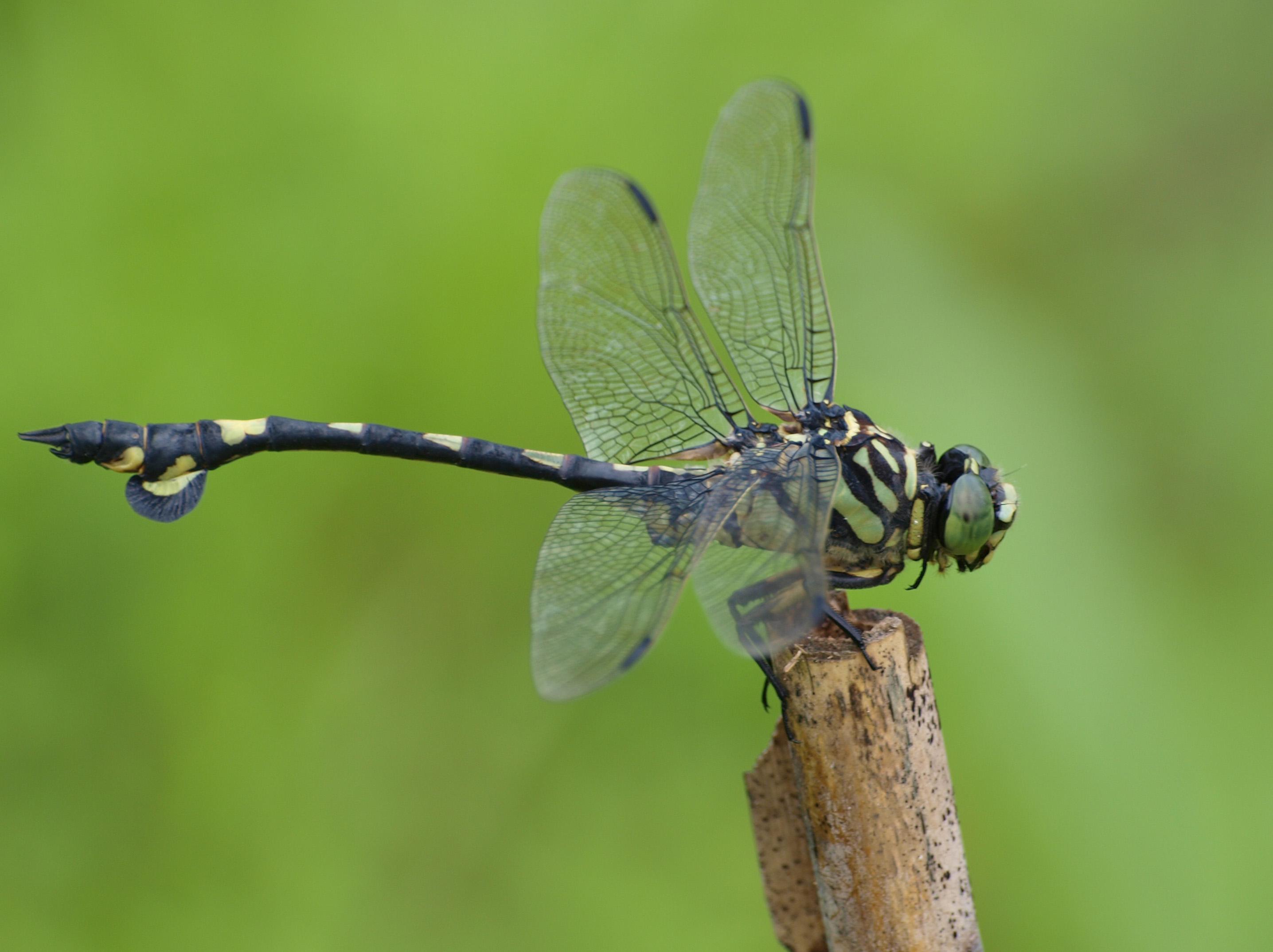 Sinictinogomphus_clavatus(1).jpg