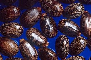 Castor_beans.jpg
