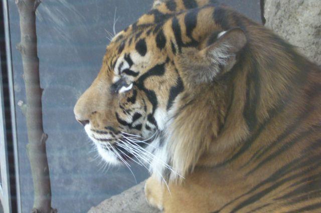 スマトラトラ070428上野動物園.jpg