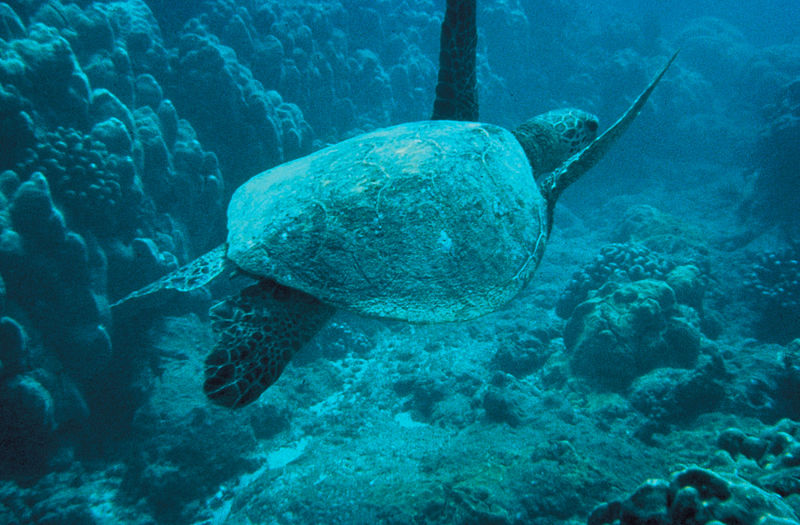 Green-sea-turtle.jpg