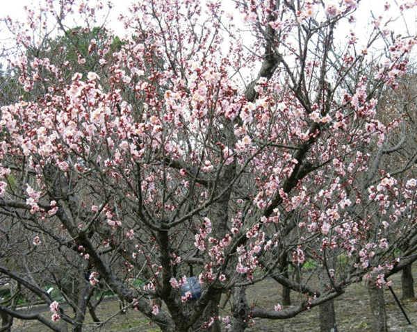 Prunus_mume_Koutoji2.jpg