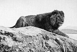 Barbary_lion.jpg