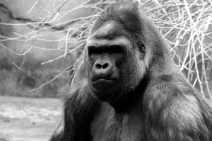 gorilla-small.jpg