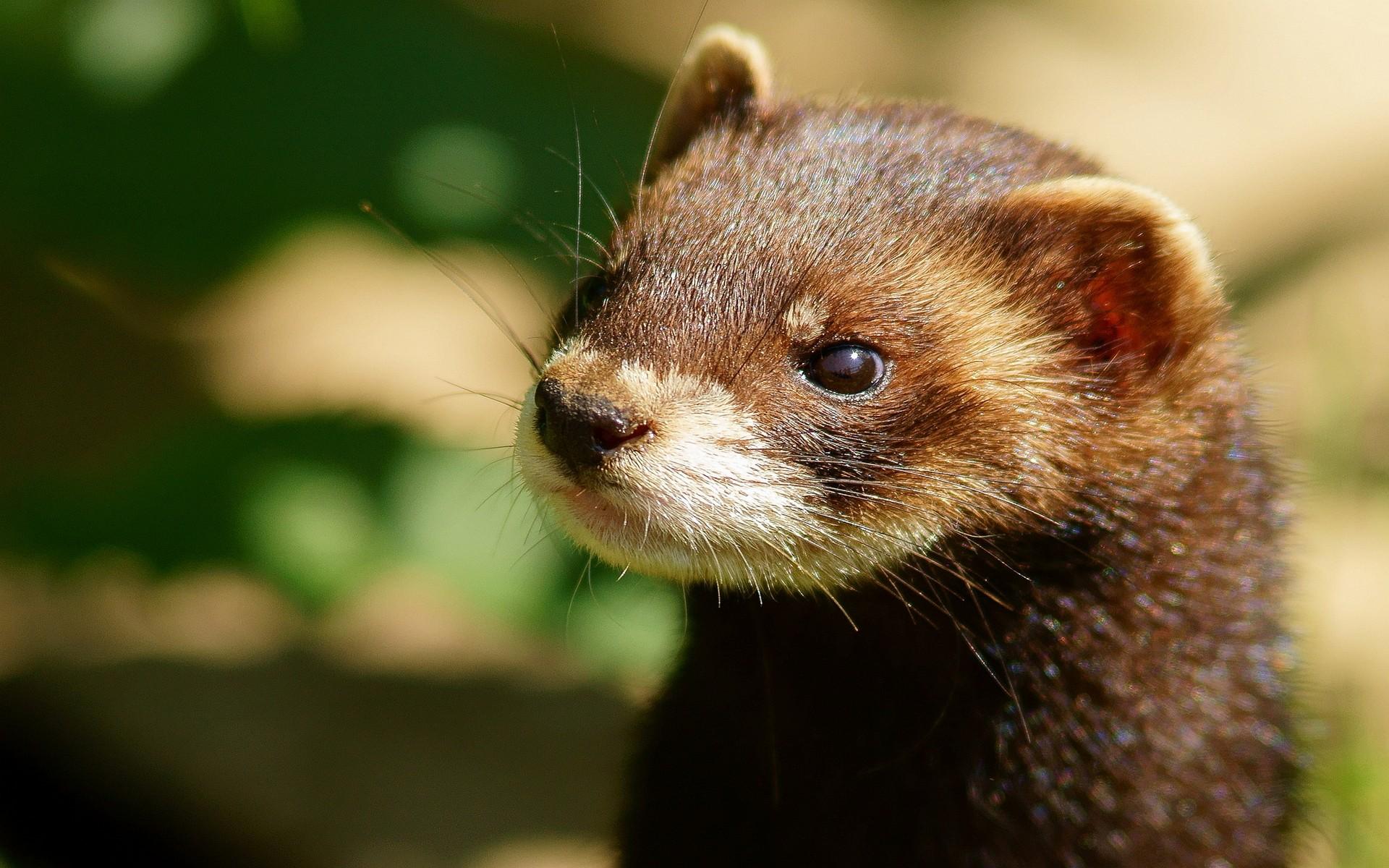 animal-weasel-mink-Favim.jpg