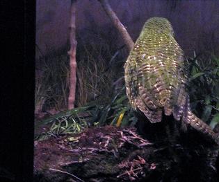 kakapo_1.png