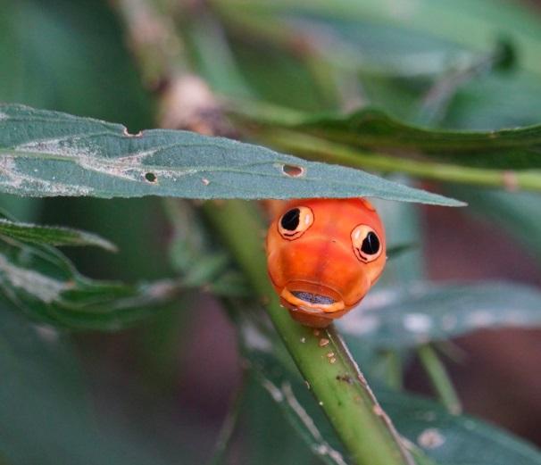 Orange%20catterpillar.jpg