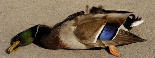 duck-173